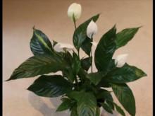 Durr Plant