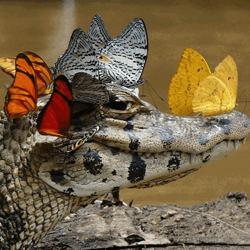 Butterfly Crocodile