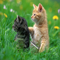 Kitten Assasin